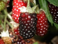 Boysenbær