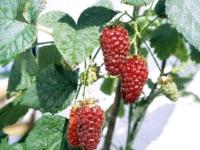 Taybær