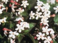 Abelia Monia
