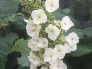 Alice egebladet hortensia