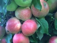 Aroma æble