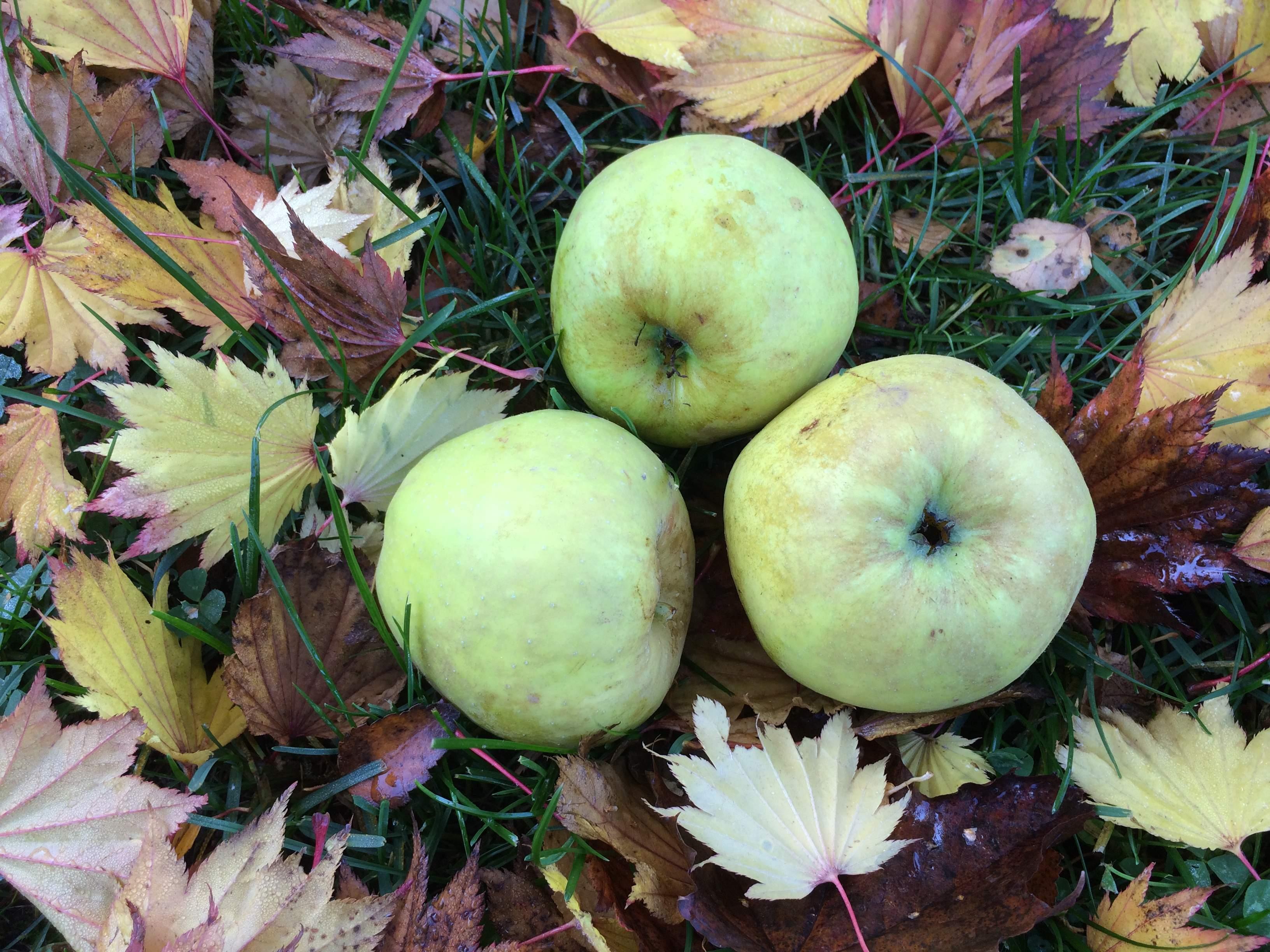 Belle boskop æbletræ