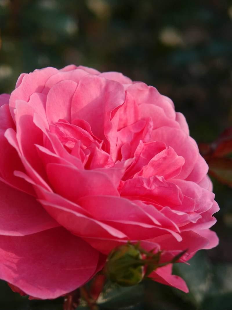 Berleburg barrods rose