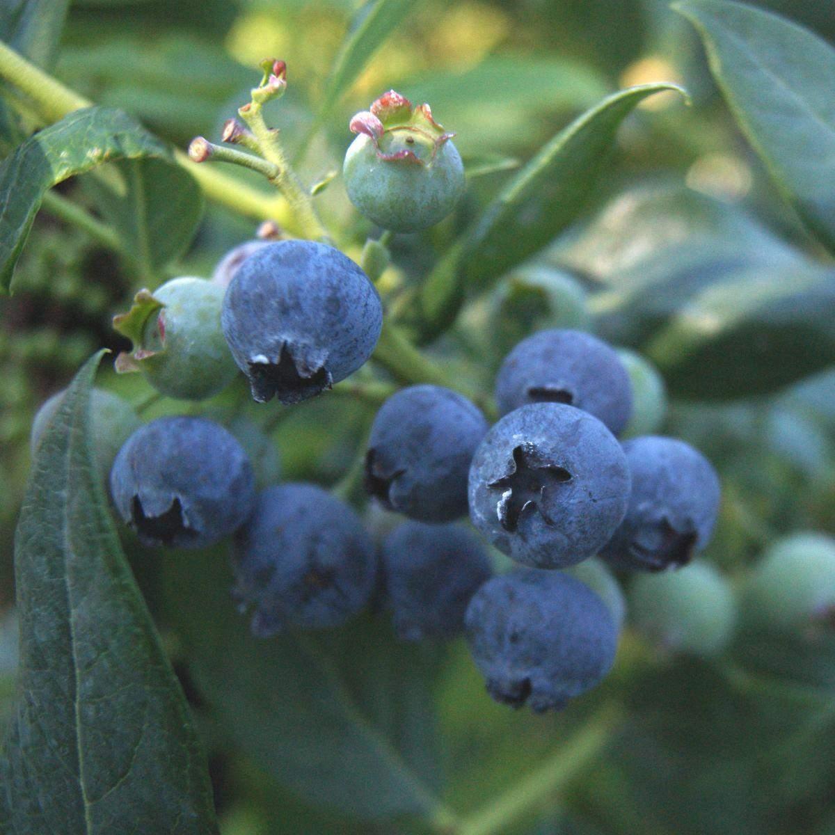 Blåbær Aino