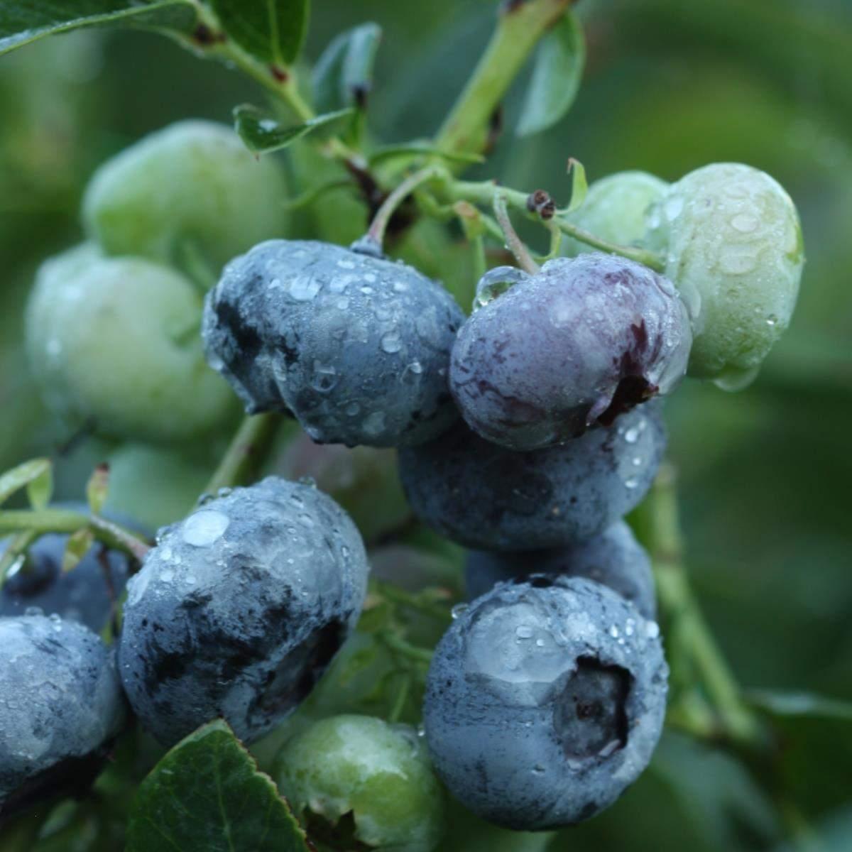 Blåbær Darrow