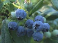 Blåbær Olle