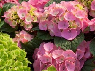 Bloomstar Hårdfør Havehortensia