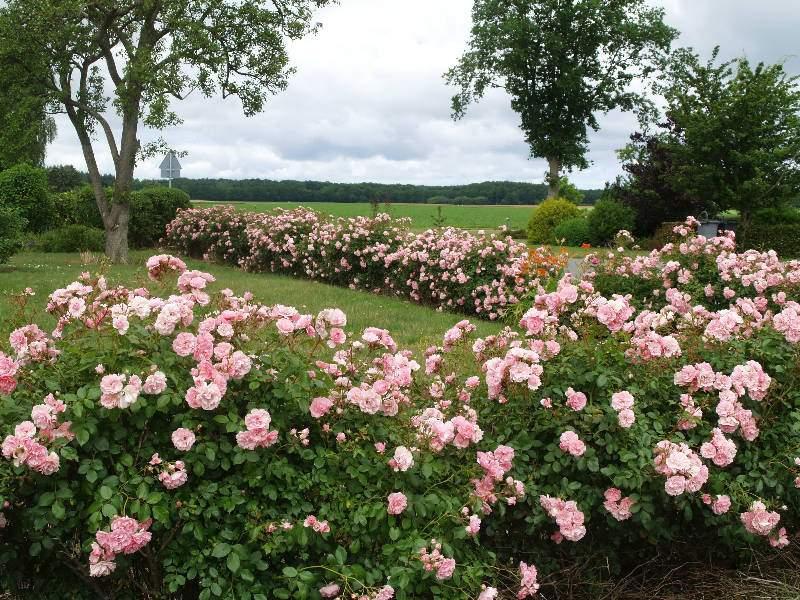 Dejlig Barrods roser - PlanteSmil ZP-73