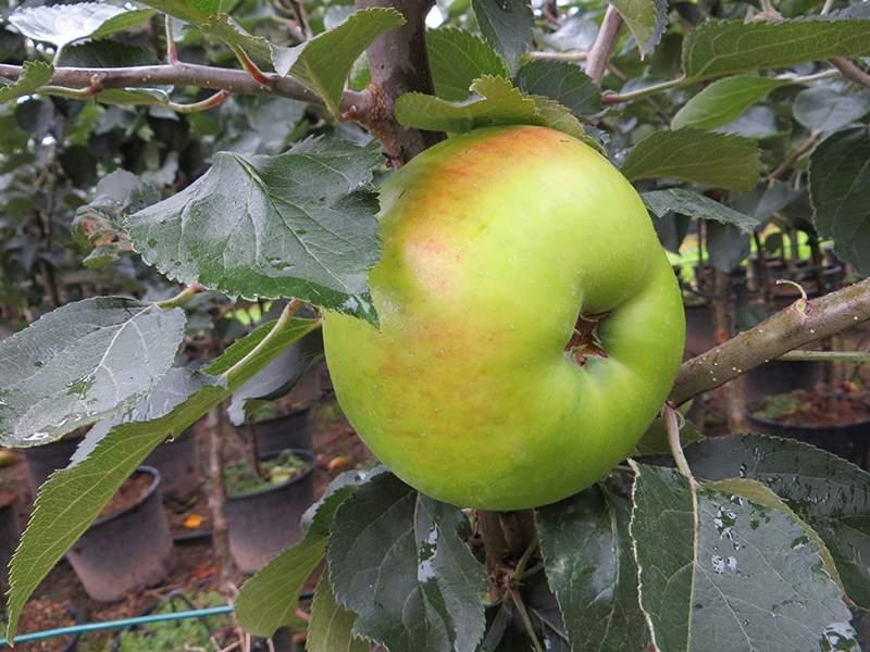 Bramley æble
