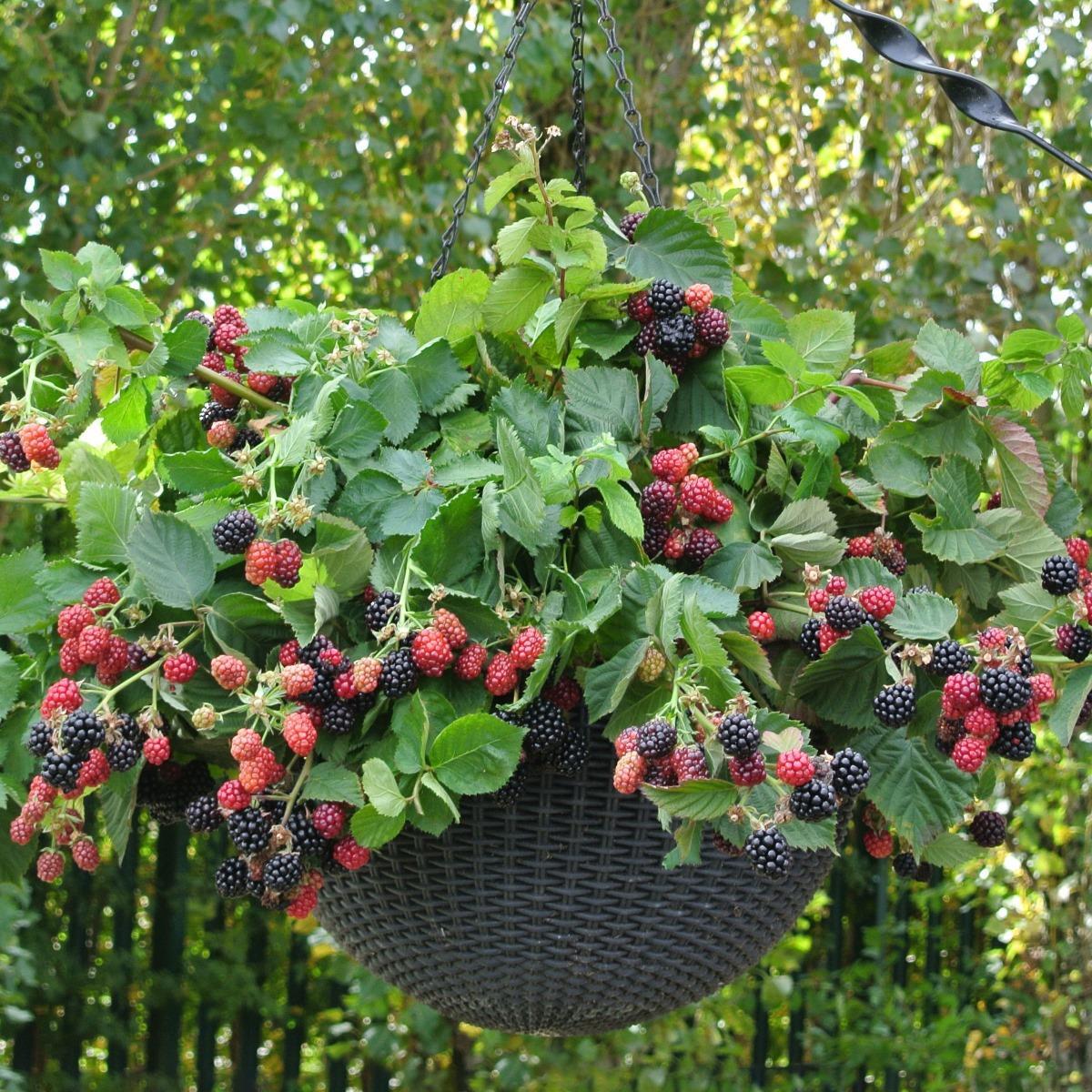 Brombær Black Cascade