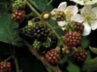 Brombær Black Satin