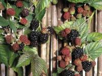 Brombær Thornfree