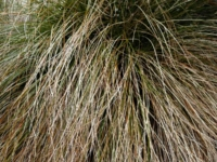 Carex prairie fire