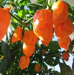 Chili bhut orange copenhagen.