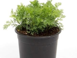 Cola plante