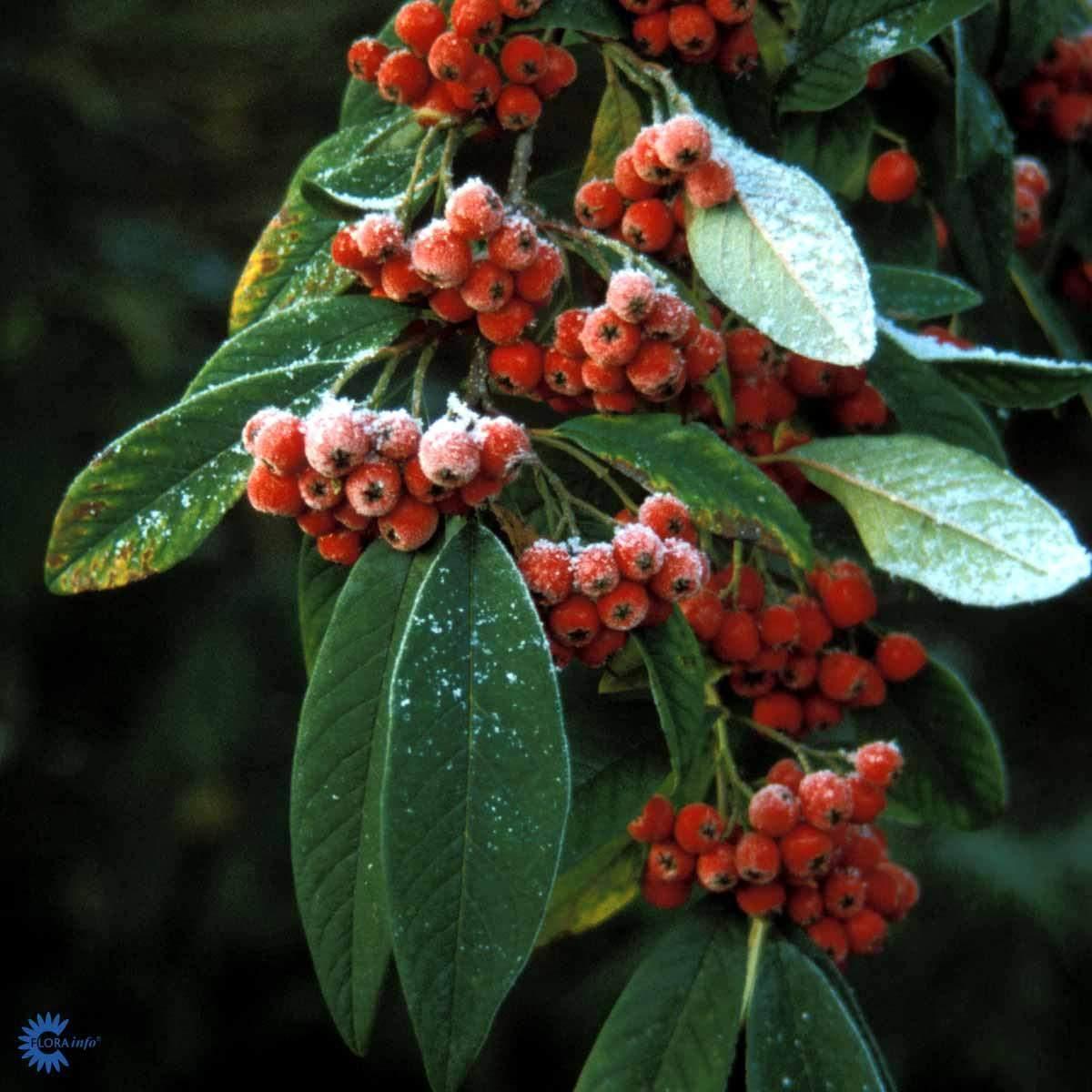 Cotoneaster Brændkjær