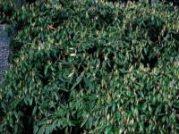 Cotoneaster Flocosus