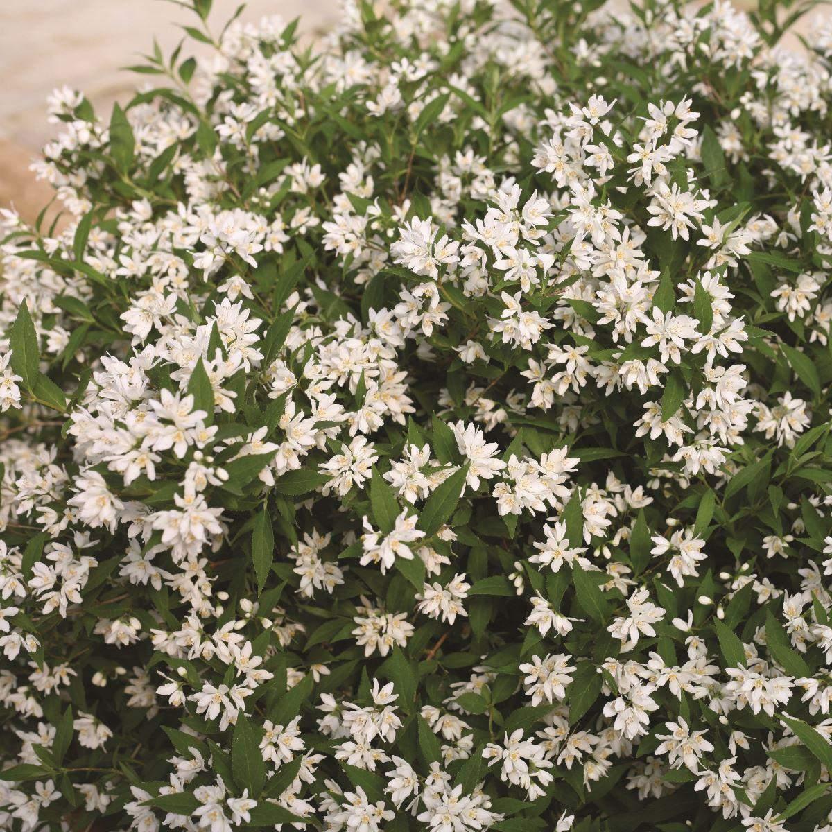 Deutzia Yuki Snowflake