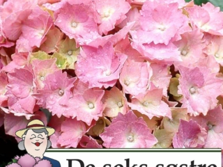 Hydrangea Dorthea