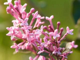 Dværgsyren Pink Perfume