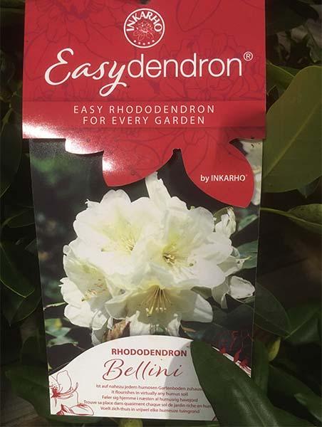 Easydendron Bellini