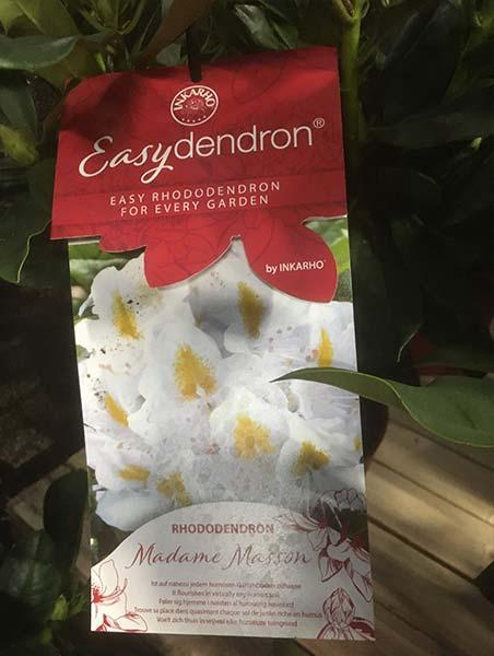 Easydendron Madame-masson