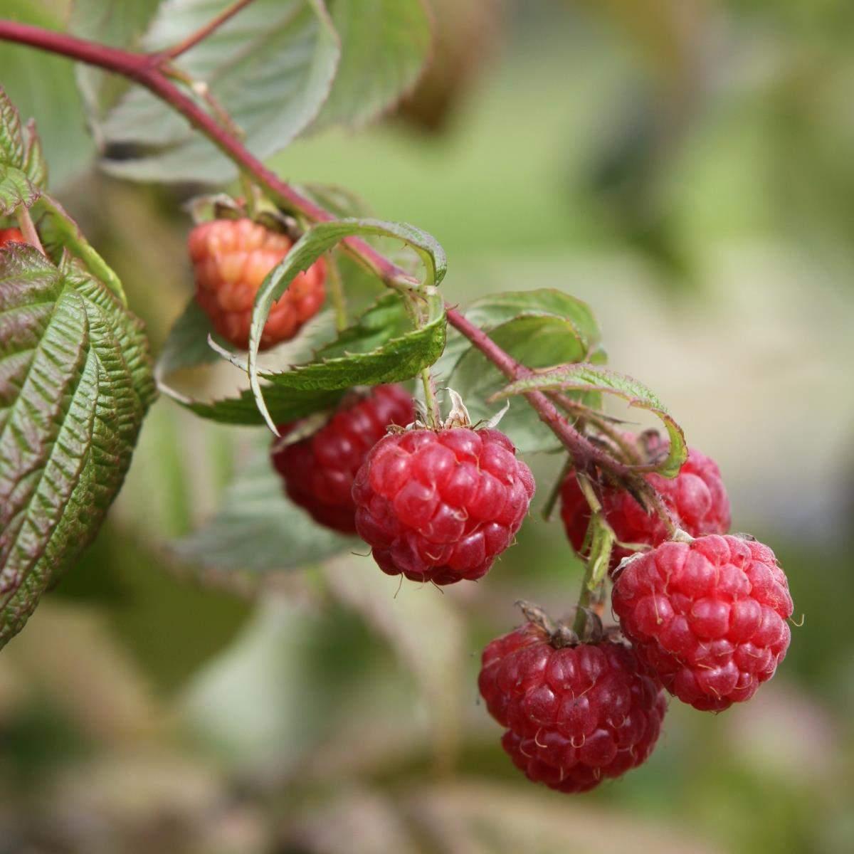 Efterårs hindbær Boheme