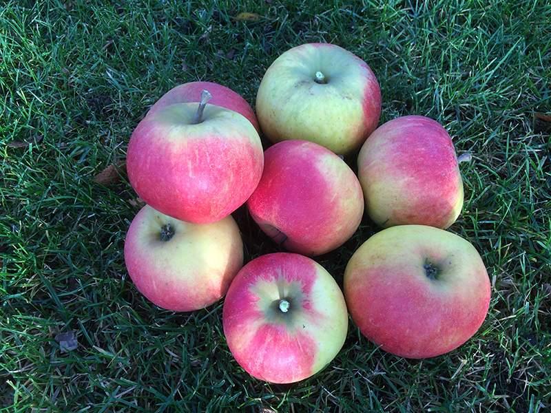 Elstar æble.