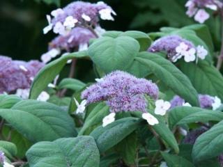 Fløjls hortensia