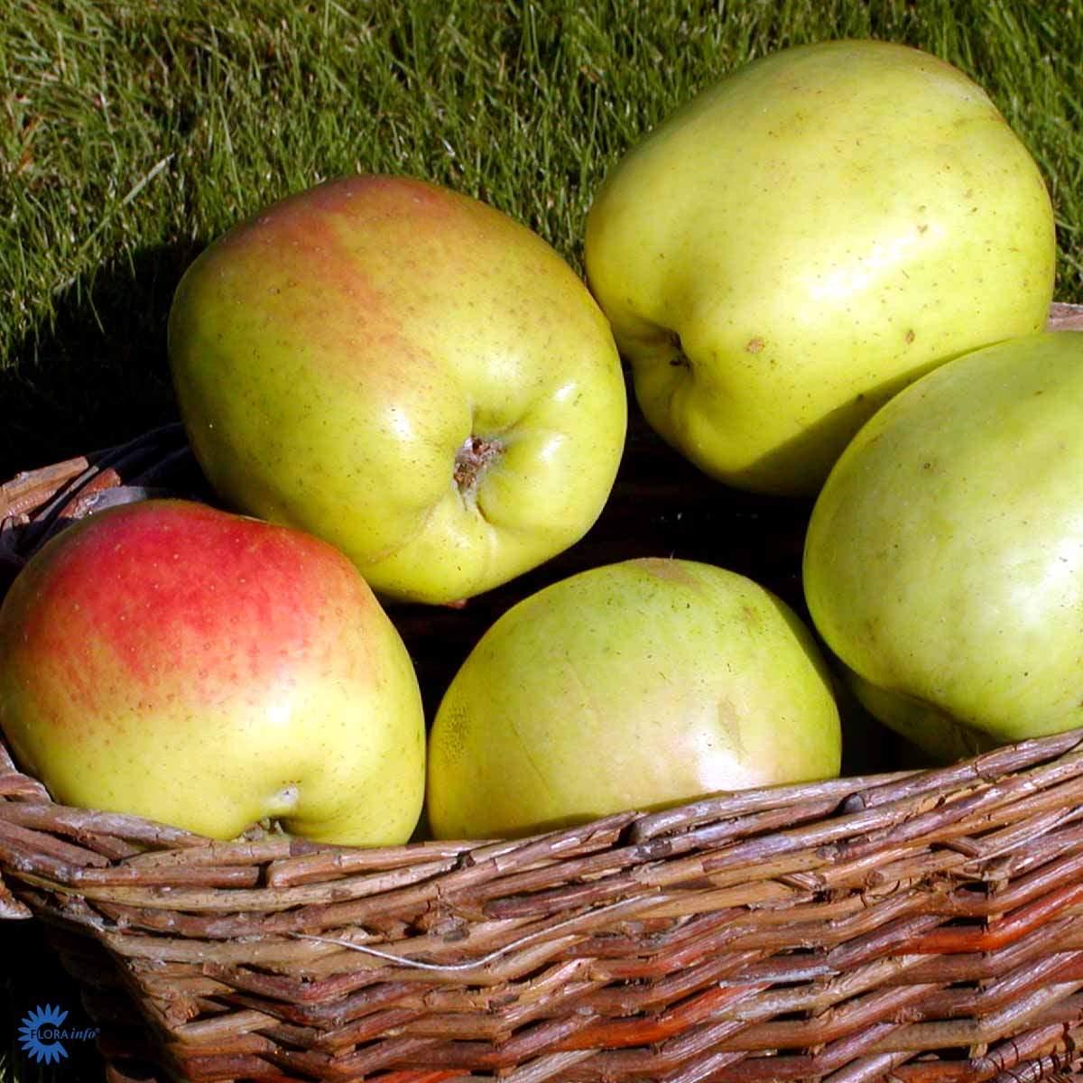 Filippa æbletræ
