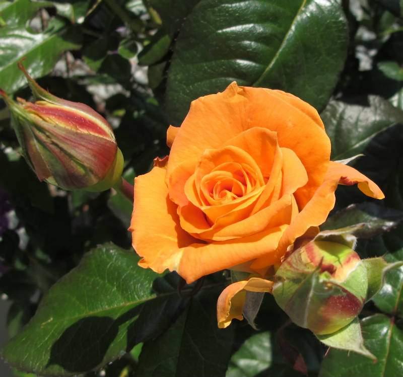 Flora Danica barrods rose