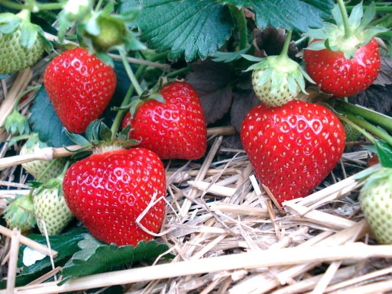 Polka jordbær