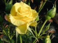 Freisia barrods roser