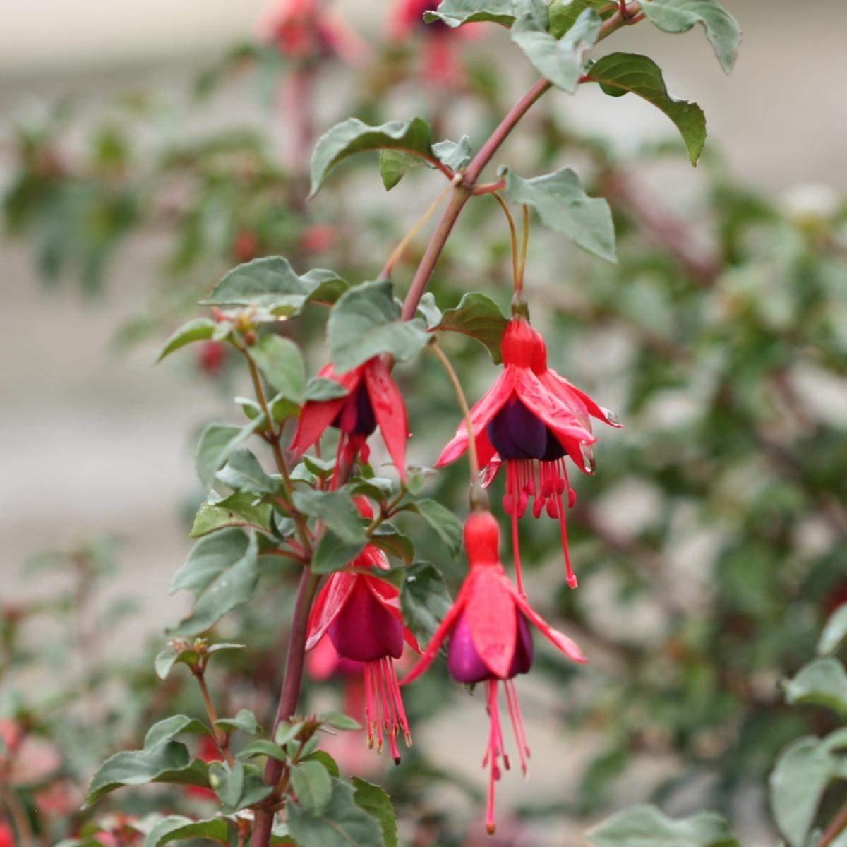 Fuchsia Mrs. Popple