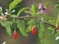 Gojibær Sweet life berry