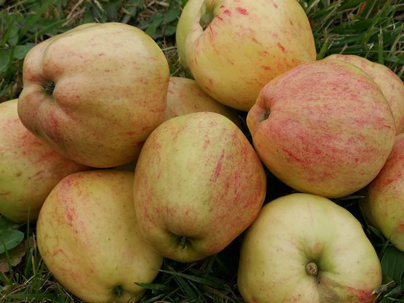 Guldborg æble