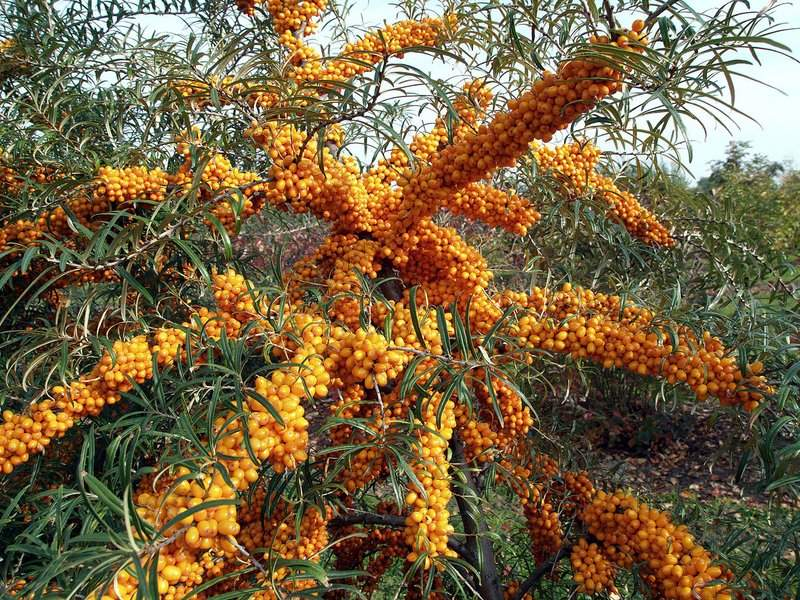 Havtorn Orange Energy