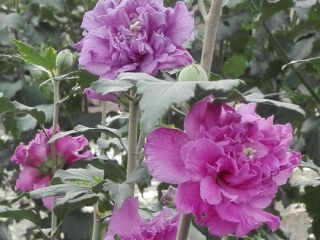 Hibiscus French Caberet Purple