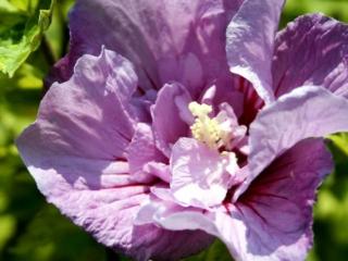 Hibiscus Levender Chiffon
