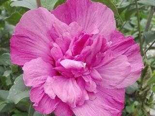 Hibiscus Magenta Chiffon