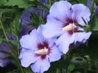 Hibiscus Marina