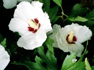 Hibiscus Red Heart