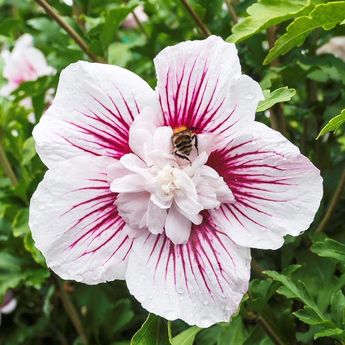 Hibiscus Starbust Chiffon