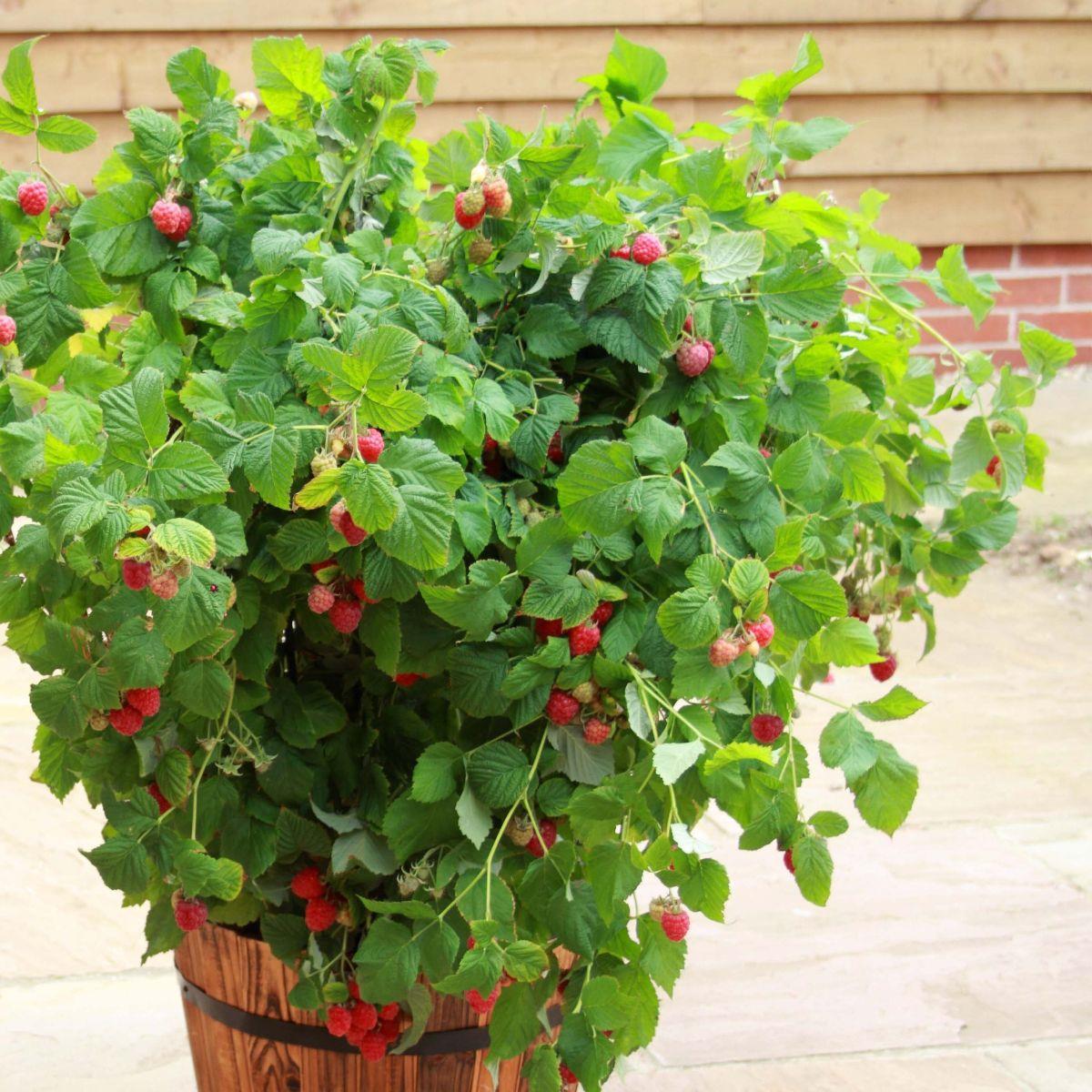 Hindbær Rubus Beauty C2