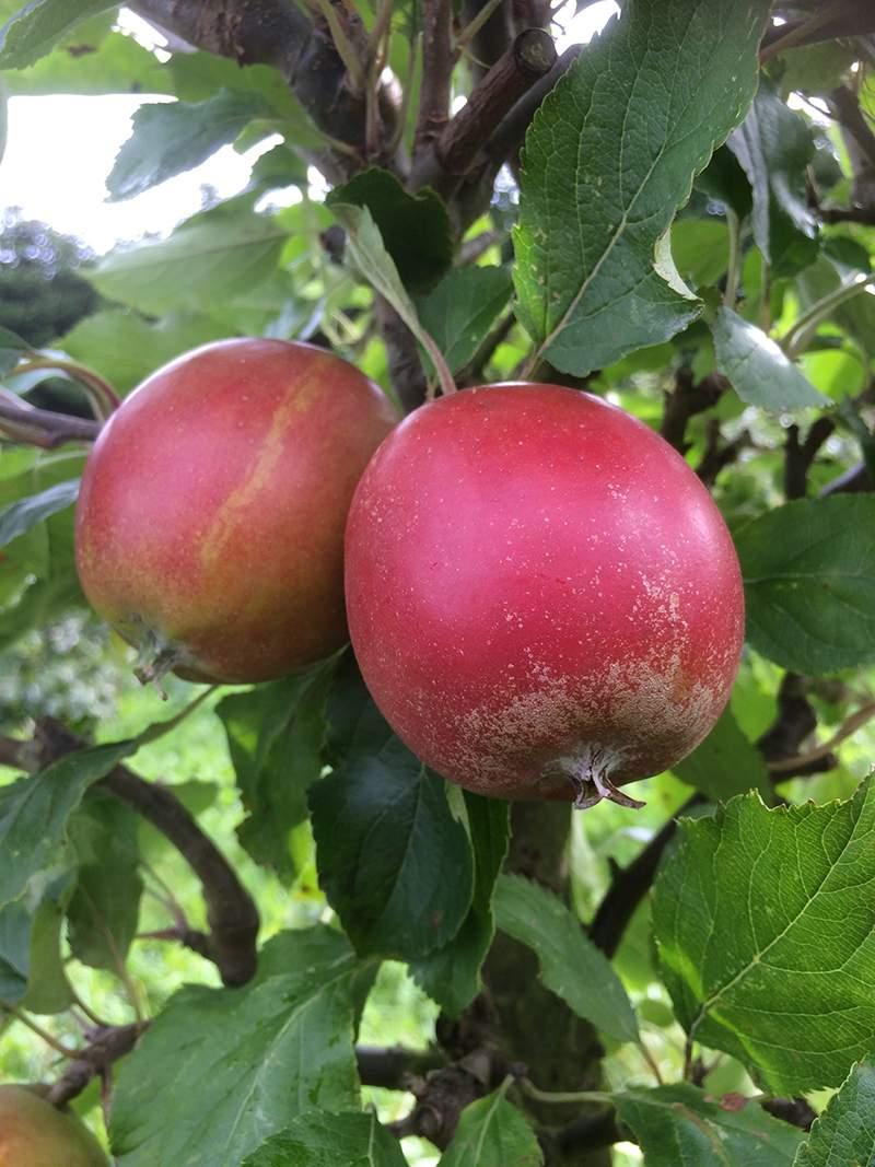 Holsteiner Cox æble dværgtræ