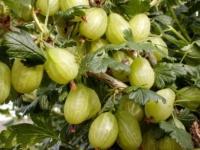 Stikkelsbær Invicta barrods plante