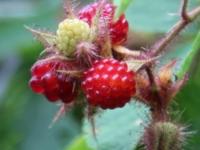 Japansk vinbær