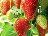 Jordbær Ostara
