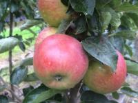 Josefine Kallehave æble
