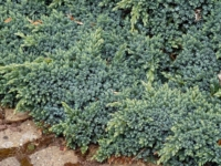 Juniperus Blue Star